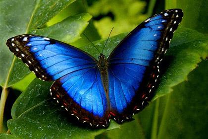 Kết quả hình ảnh cho bướm morpho